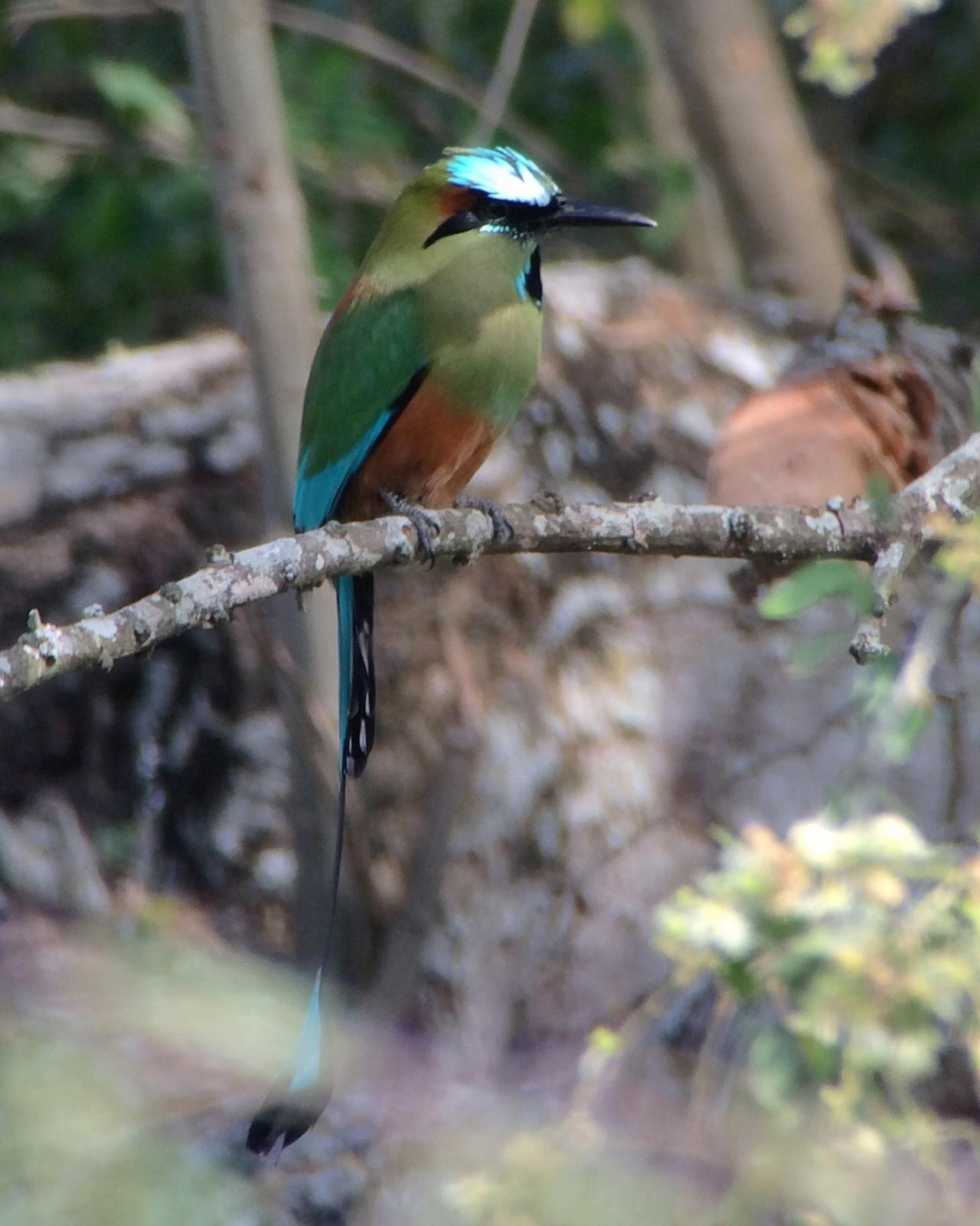 Turquoise-browed Motmot Photo by Drew Weber