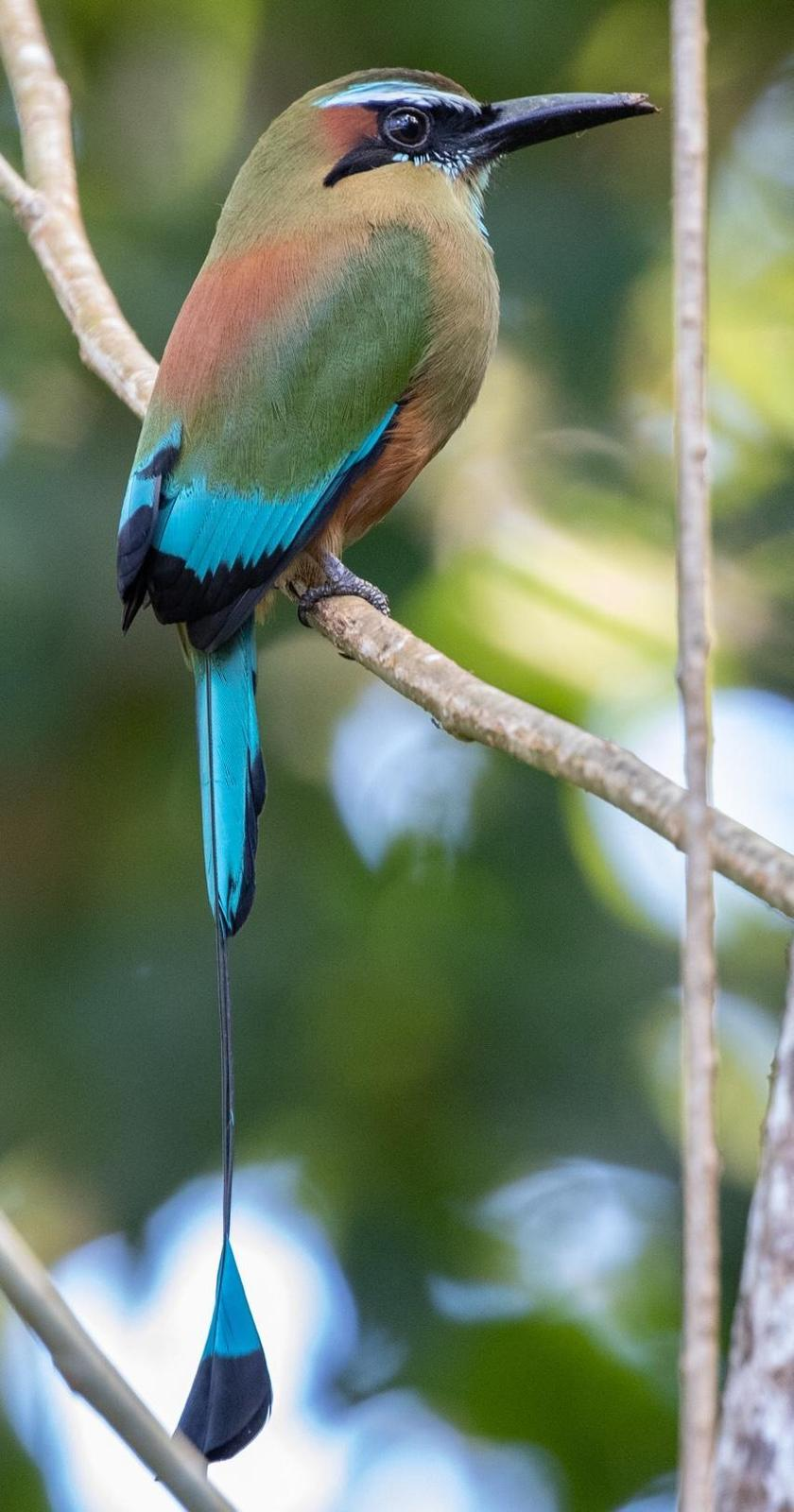 Turquoise-browed Motmot Photo by Kate Persons