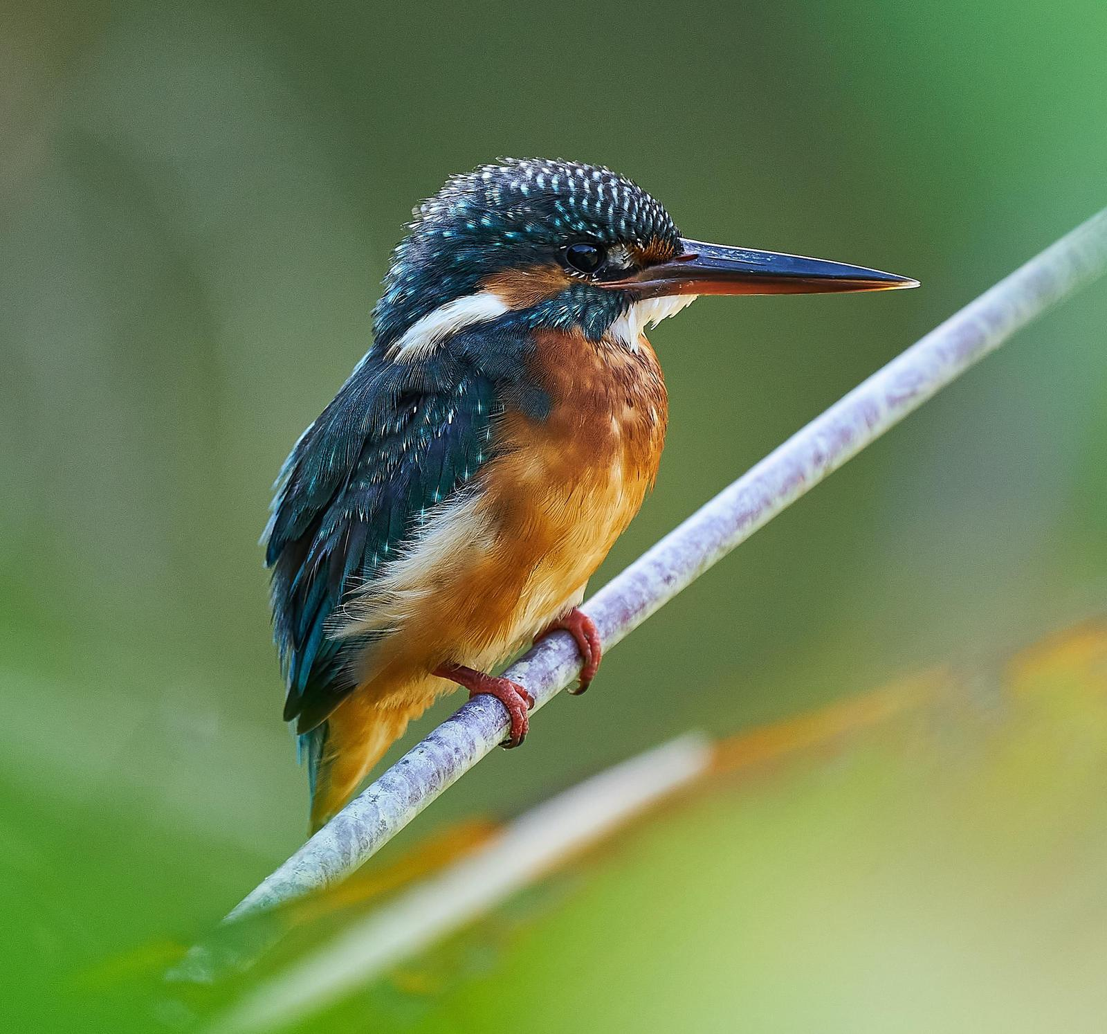 Common Kingfisher Photo by Steven Cheong