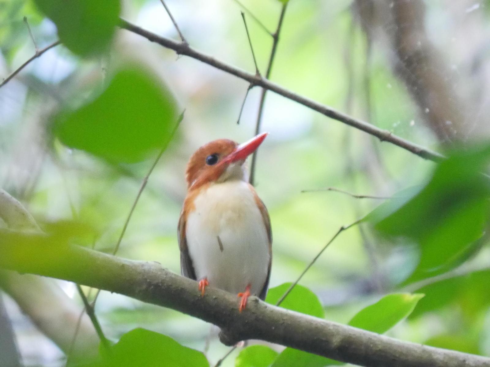Madagascar Pygmy-Kingfisher Photo by Peter Lowe