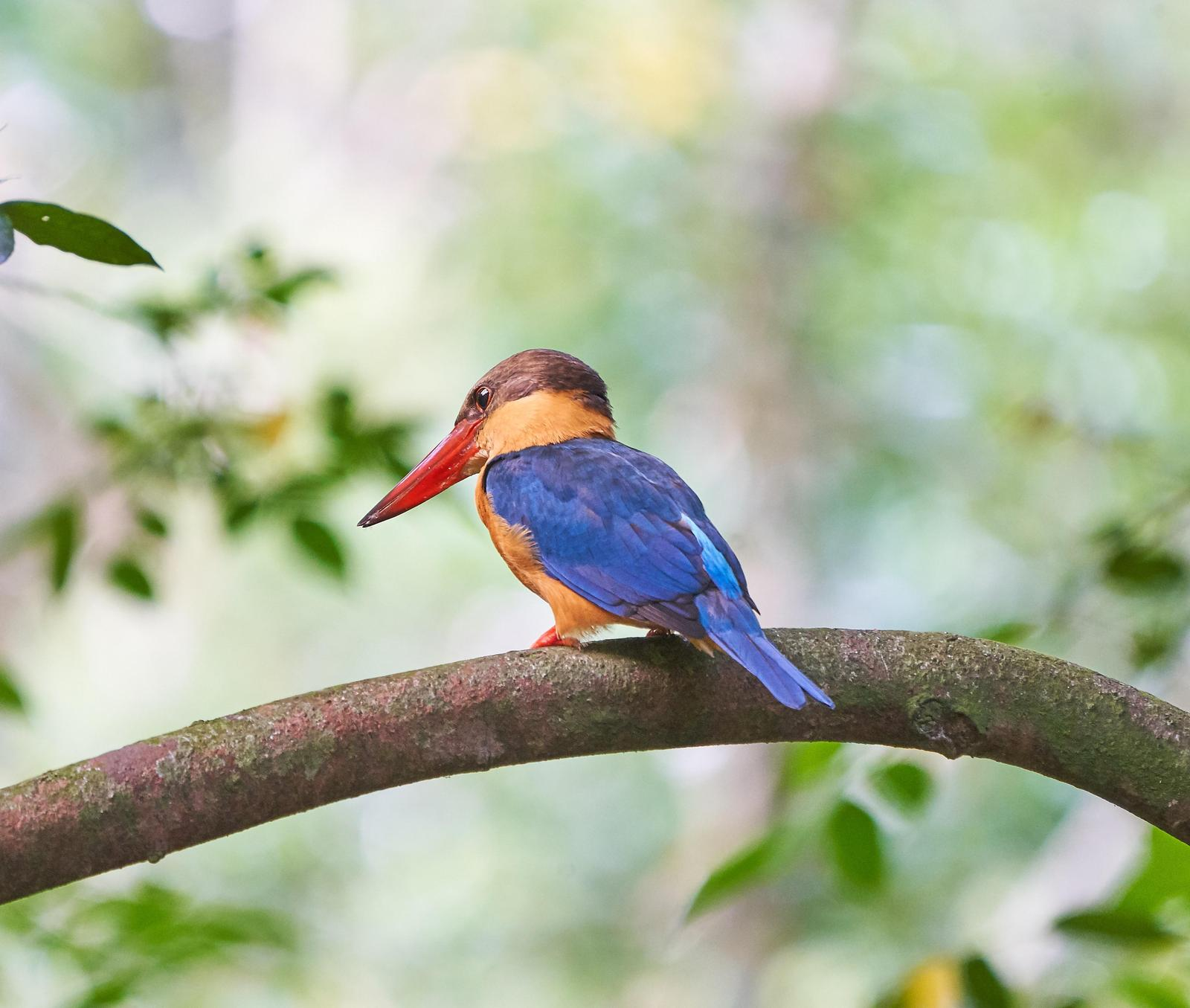 Stork-billed Kingfisher Photo by Steven Cheong