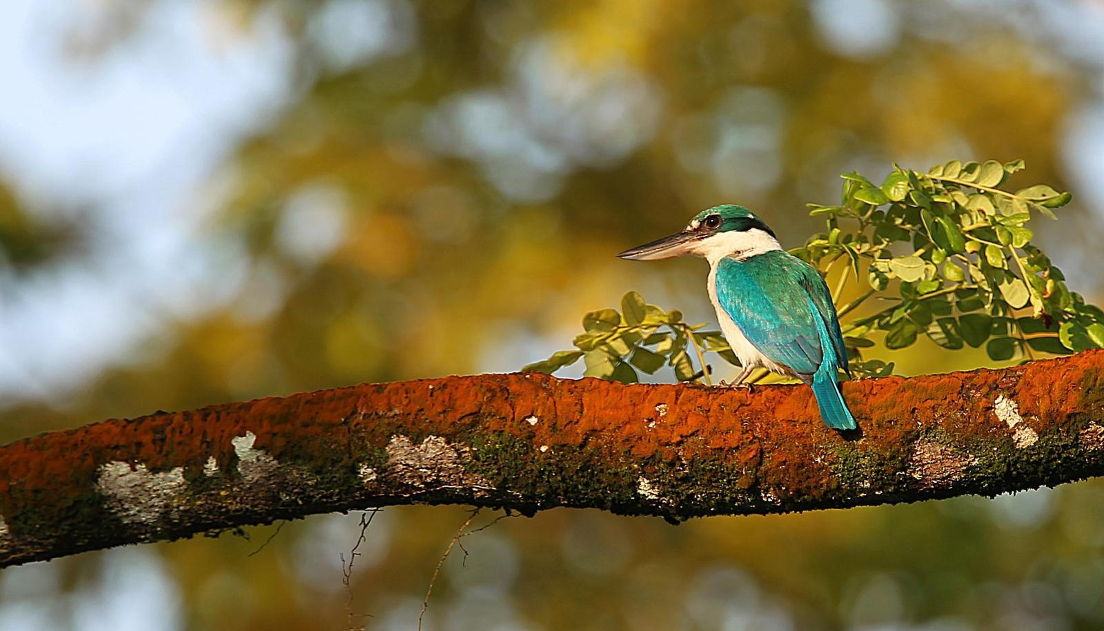 Collared Kingfisher Photo by Kenneth Cheong