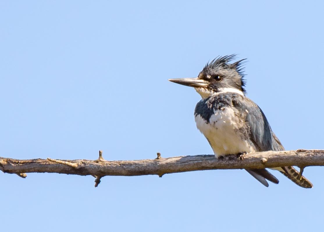 Belted Kingfisher Photo by Keshava Mysore