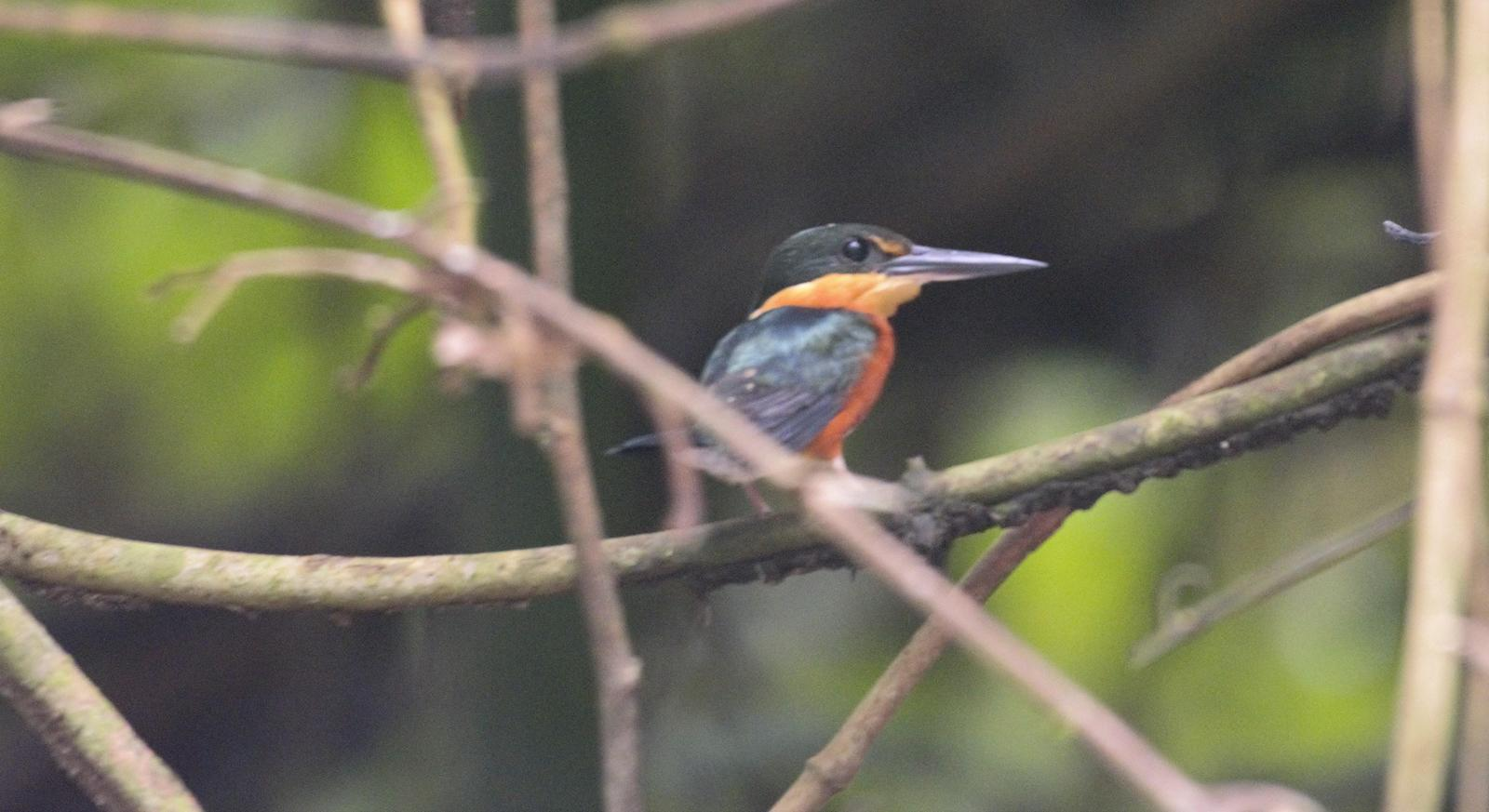 American Pygmy Kingfisher Photo by Erik Ostrander