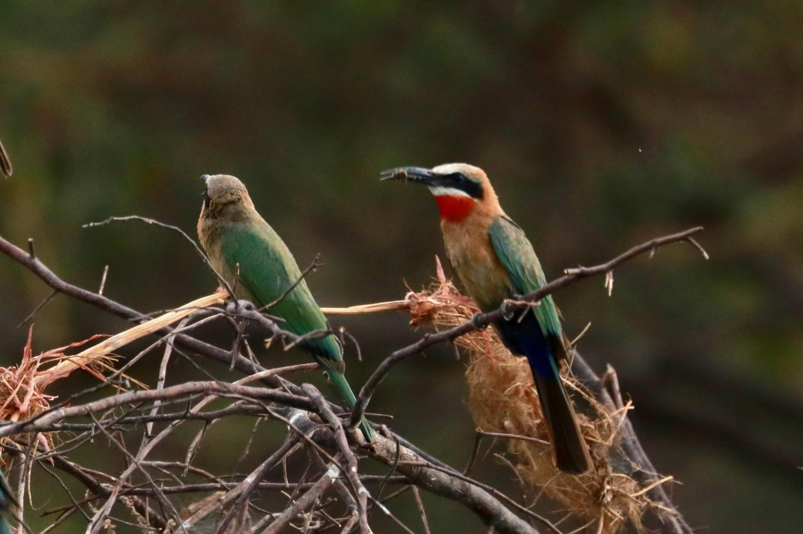 White-fronted Bee-eater Photo by Kathleen John