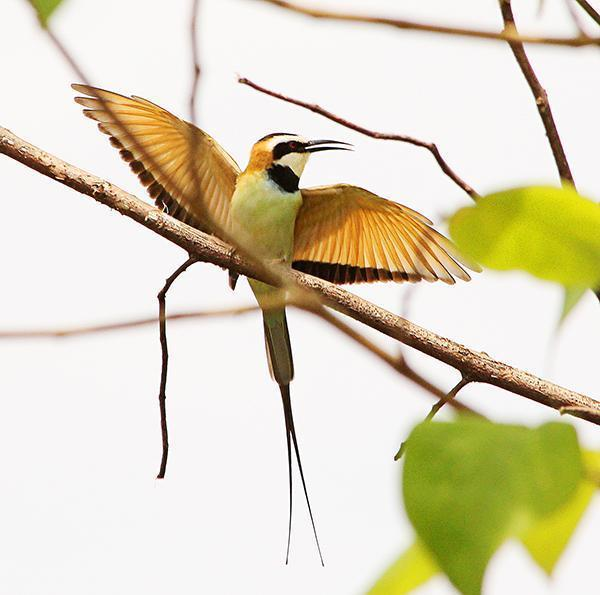 White-throated Bee-eater Photo by Ian Phillips