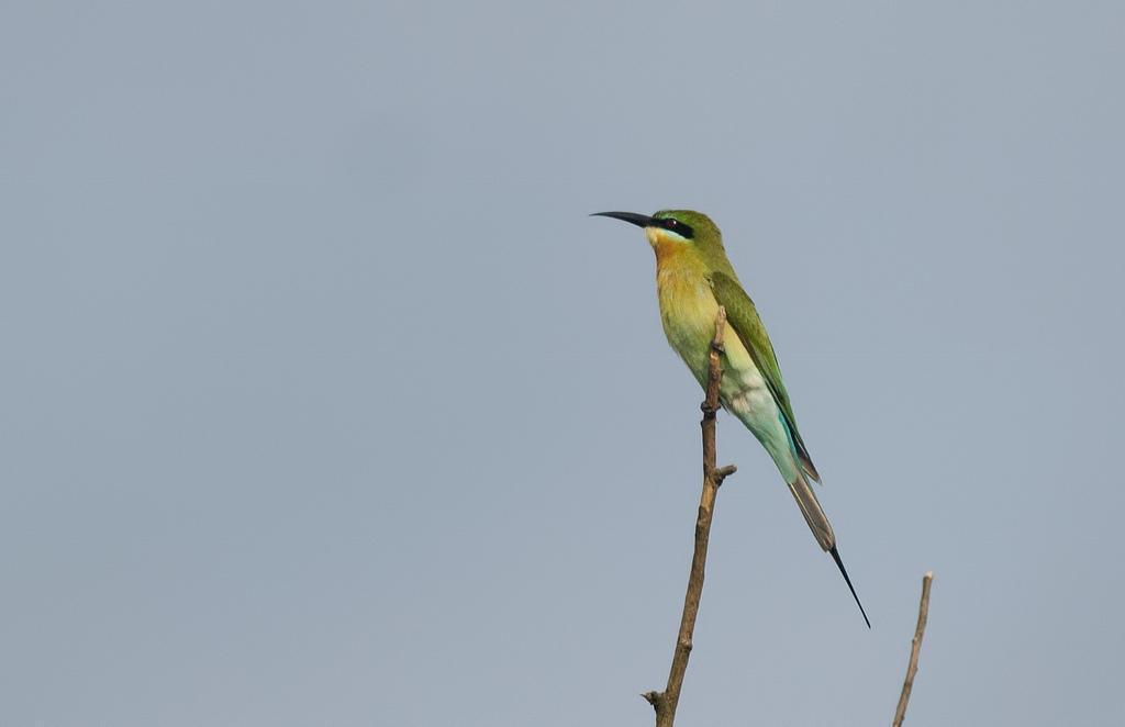 Blue-tailed Bee-eater Photo by Mihir Joshi