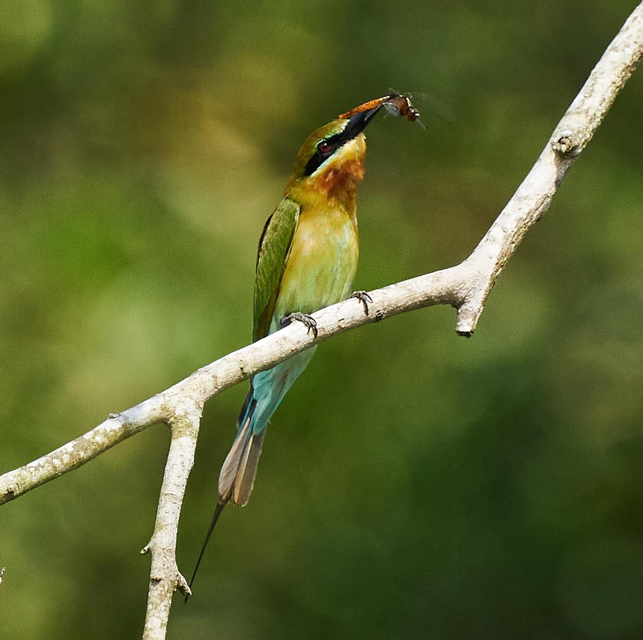 Blue-tailed Bee-eater Photo by Steven Cheong