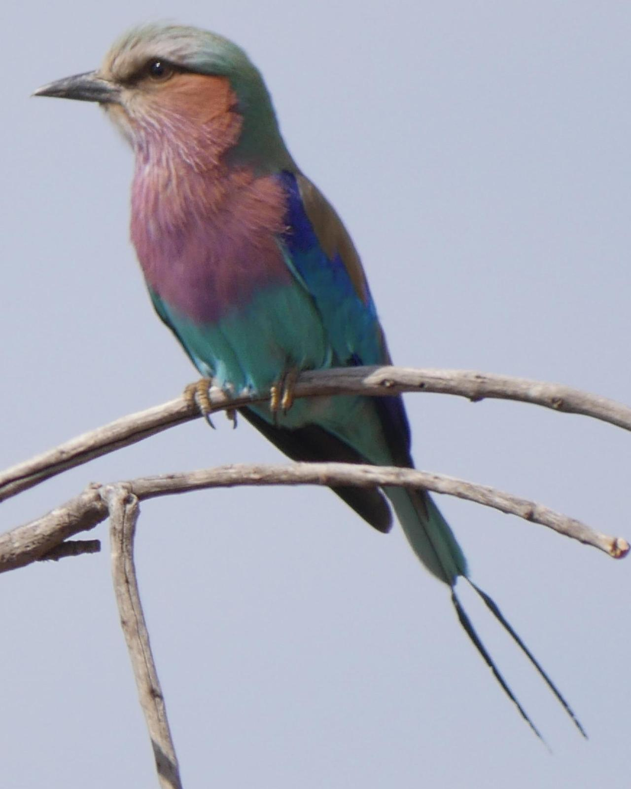 Lilac-breasted Roller Photo by Peter Lowe