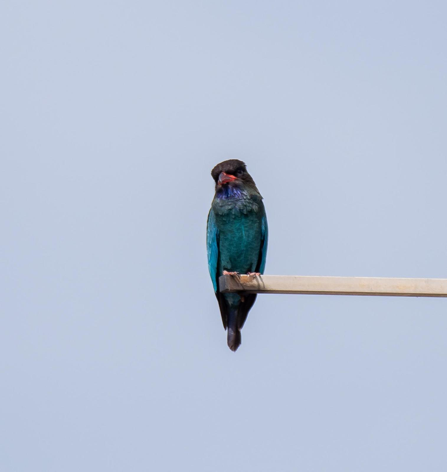 Dollarbird Photo by Yvo Goossens
