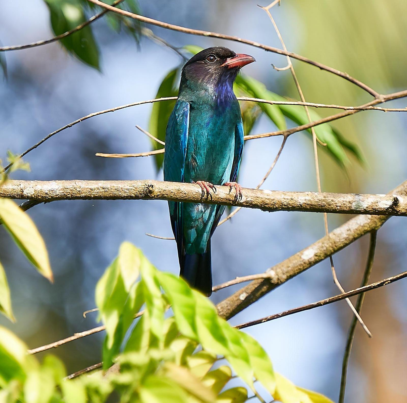 Dollarbird Photo by Steven Cheong