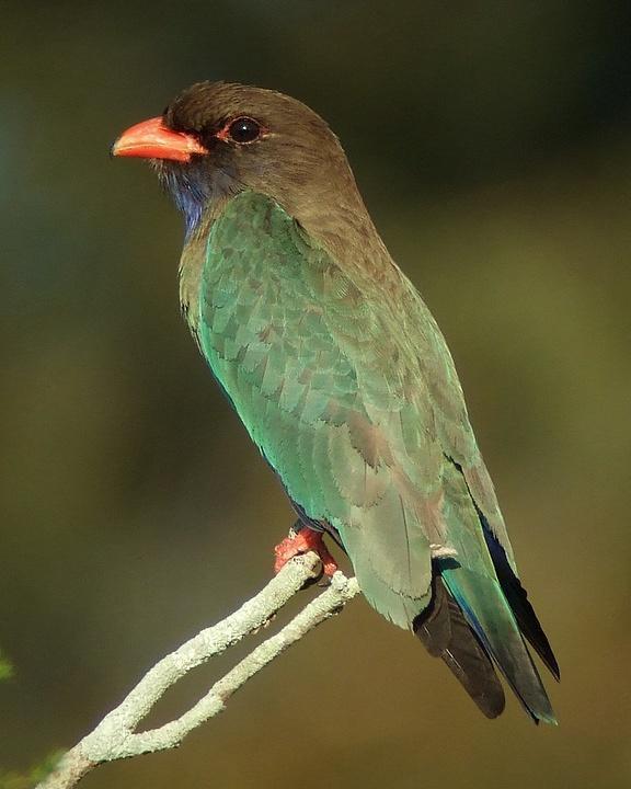 Dollarbird Photo by Mat Gilfedder
