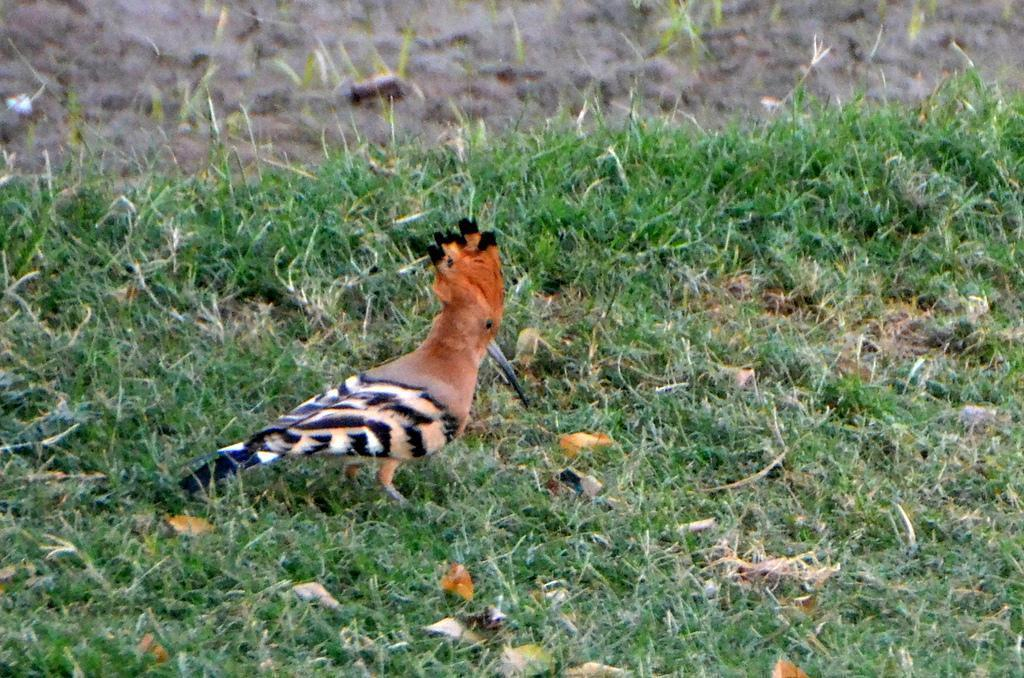 Eurasian Hoopoe Photo by Mihir Joshi