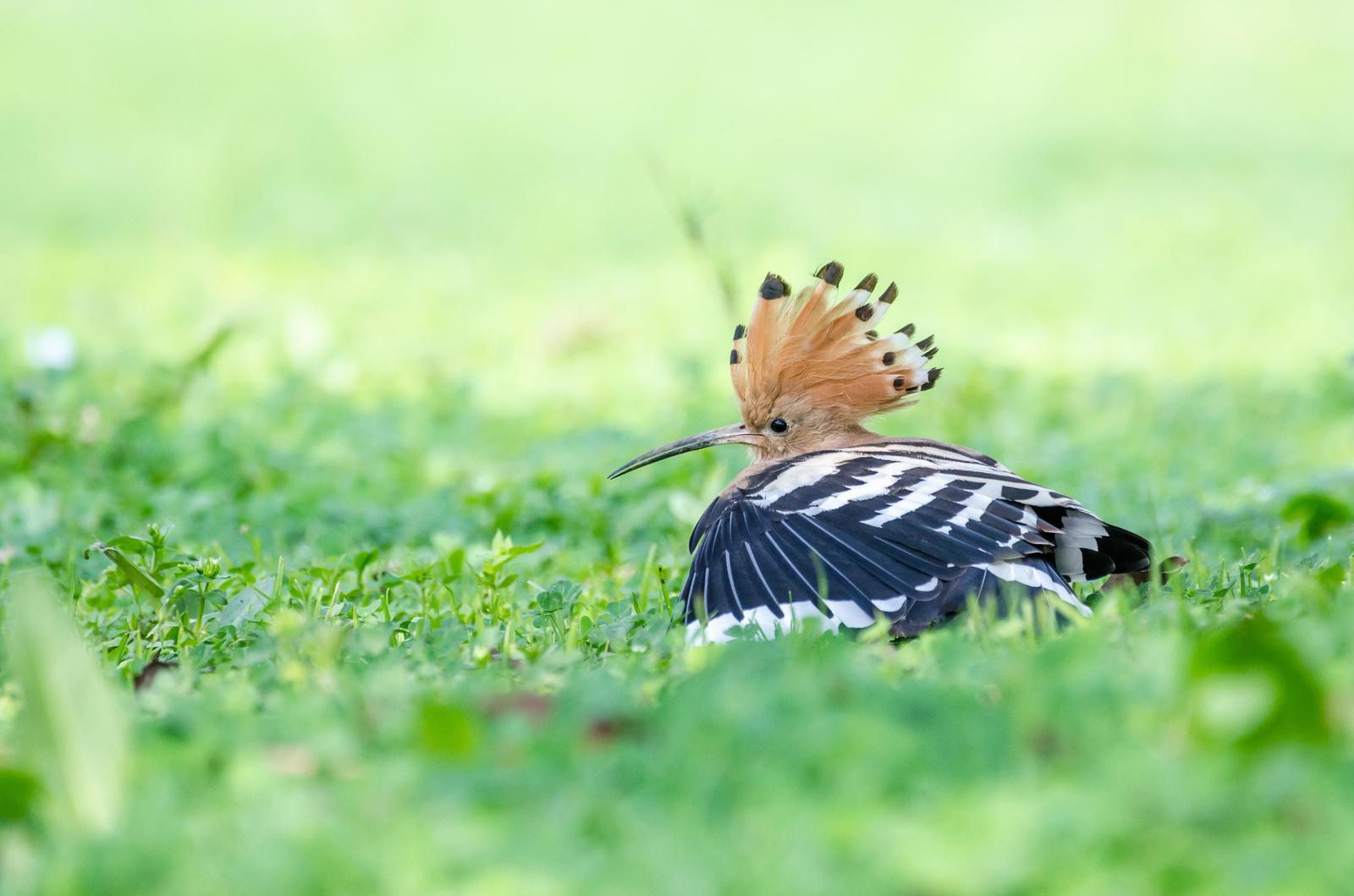Eurasian Hoopoe Photo by Zagham Awan