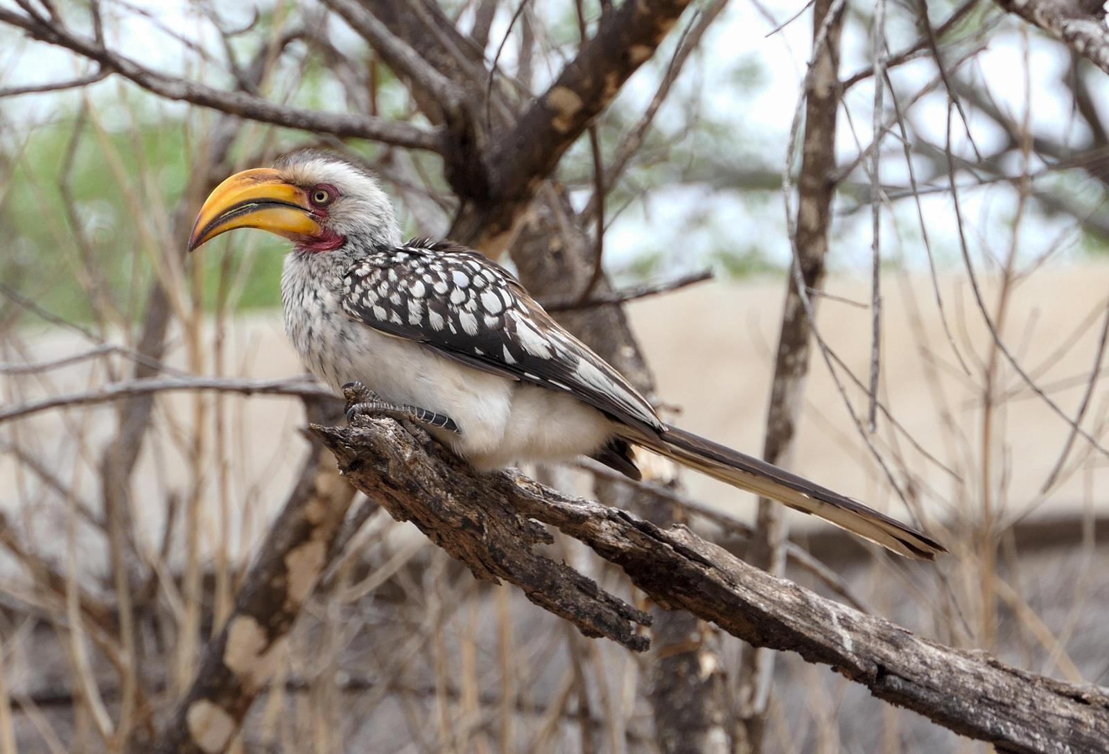 Southern Yellow-billed Hornbill Photo by Randy Siebert