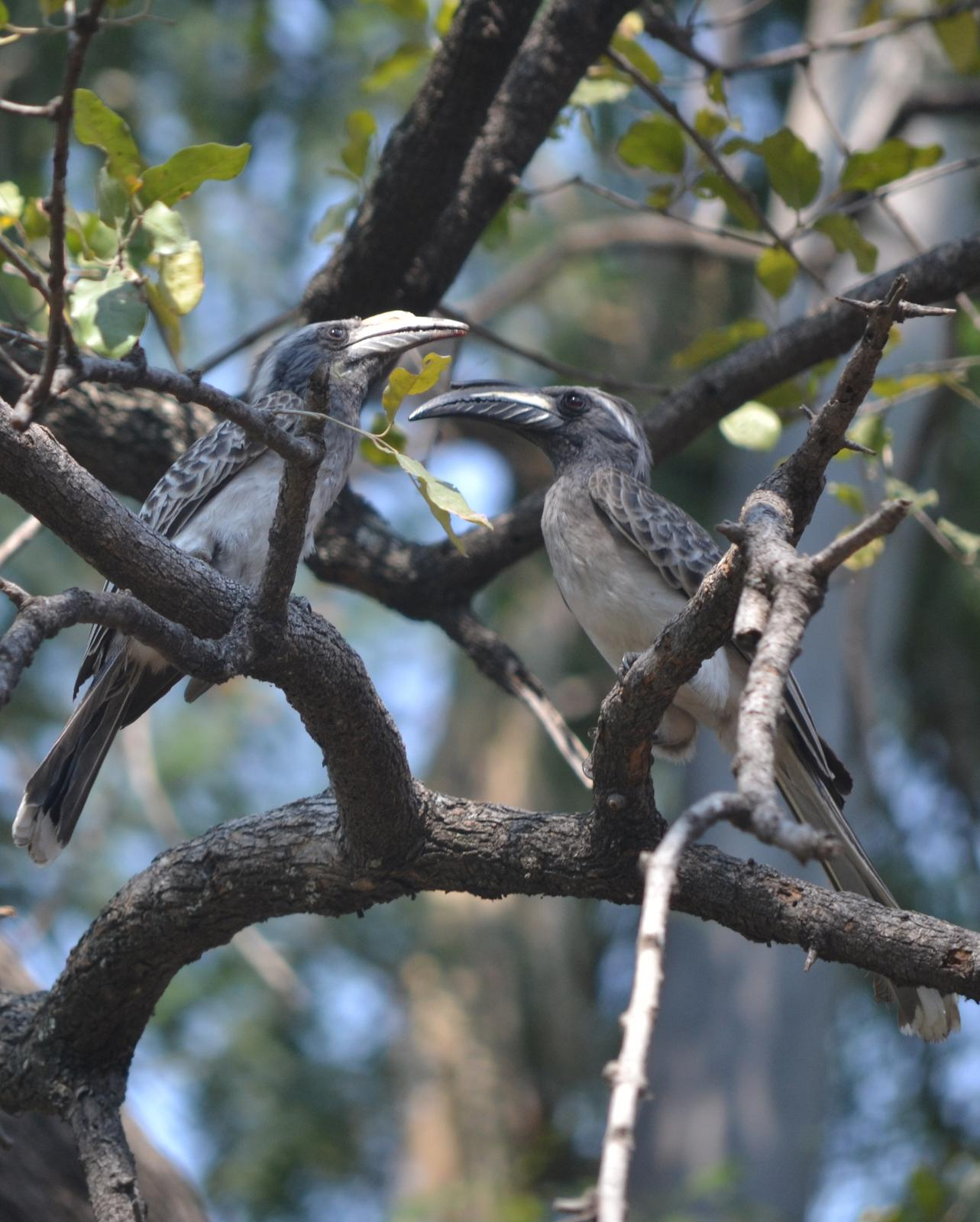African Gray Hornbill Photo by George Mayfield