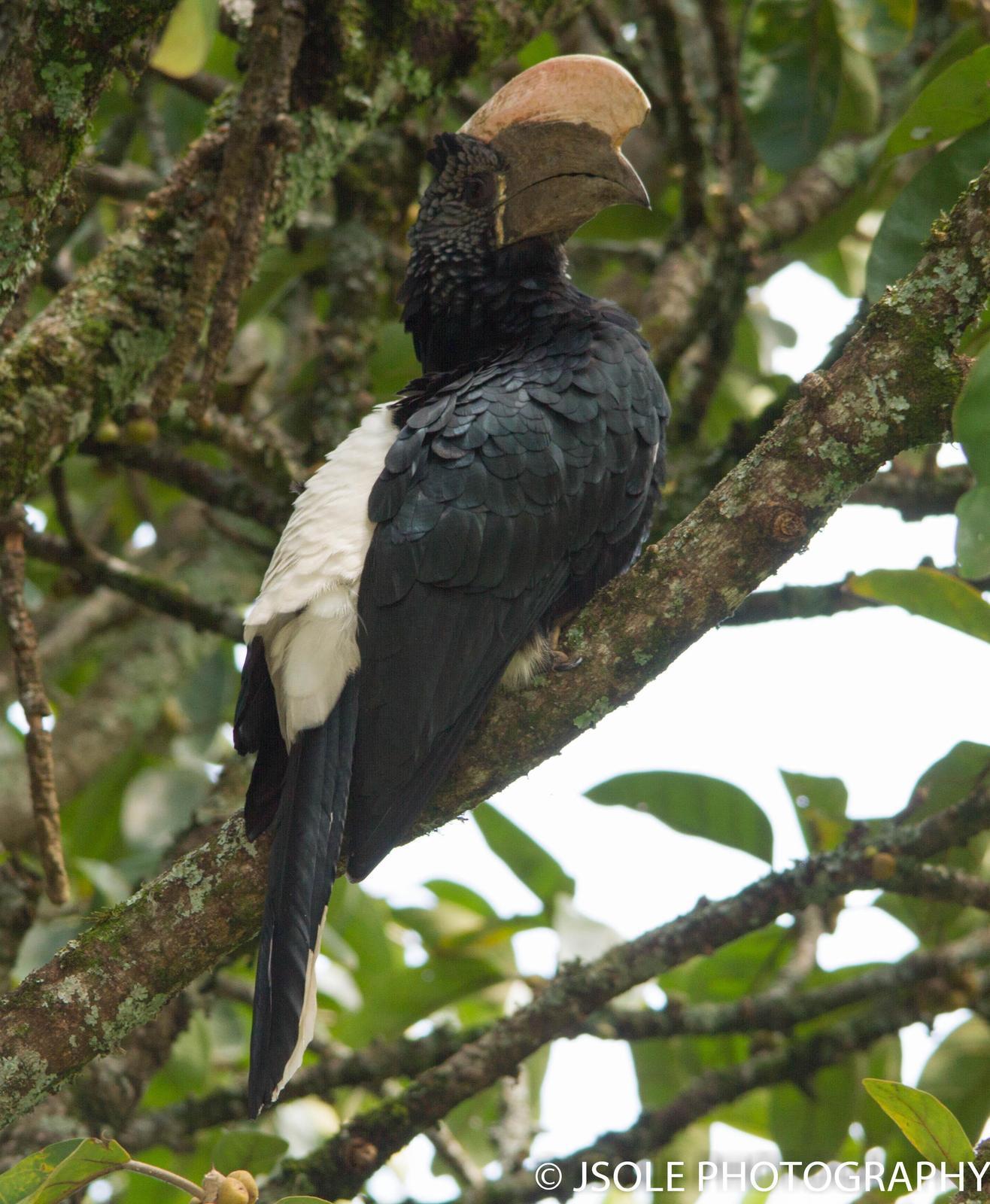 Silvery-cheeked Hornbill Photo by Jeffery Sole