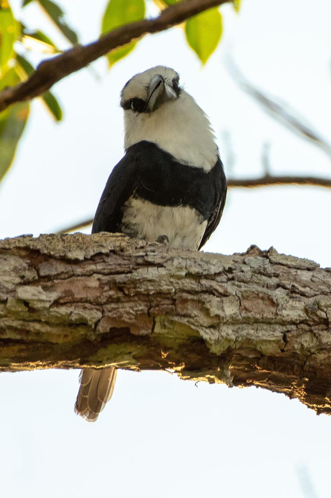 White-necked Puffbird Photo by Phil Kahler