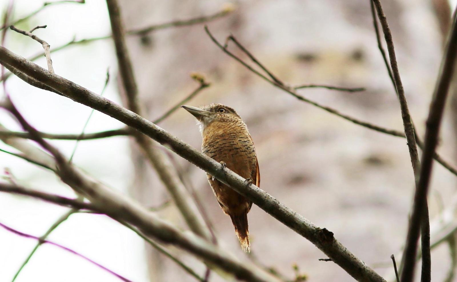 Barred Puffbird Photo by Rohan van Twest