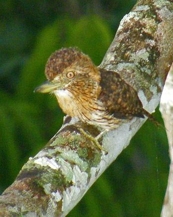 Eastern Striolated-Puffbird Photo by Sheridan Coffey