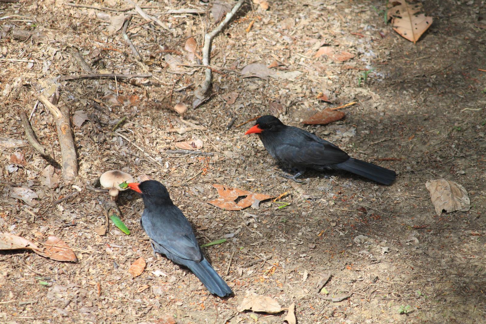 Black-fronted Nunbird Photo by David Larsen