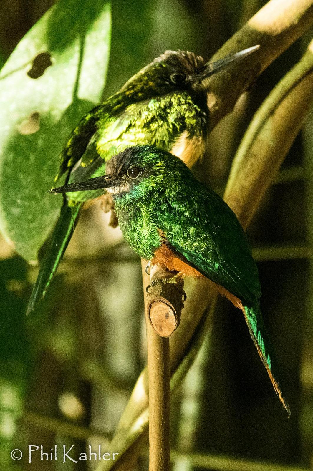White-chinned Jacamar Photo by Phil Kahler