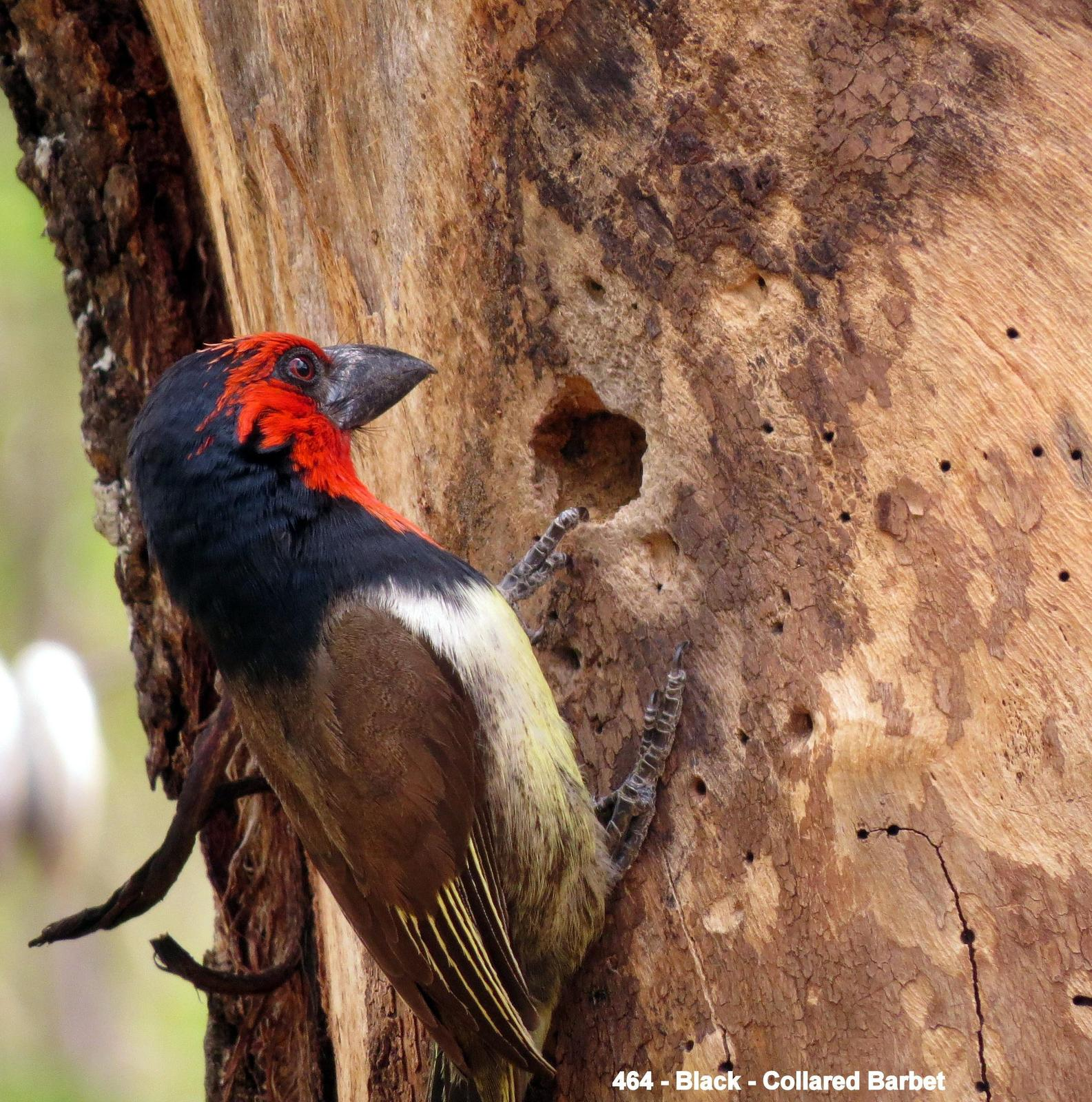 Black-collared Barbet Photo by Richard  Lowe