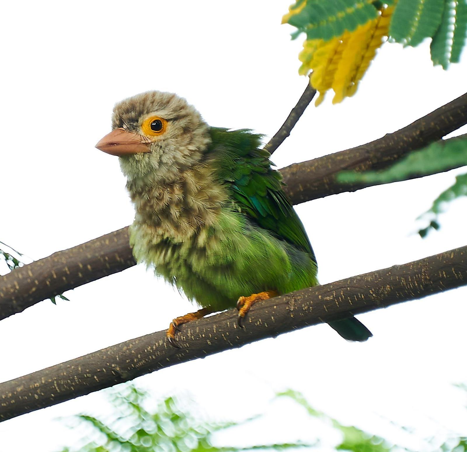 Lineated Barbet Photo by Steven Cheong