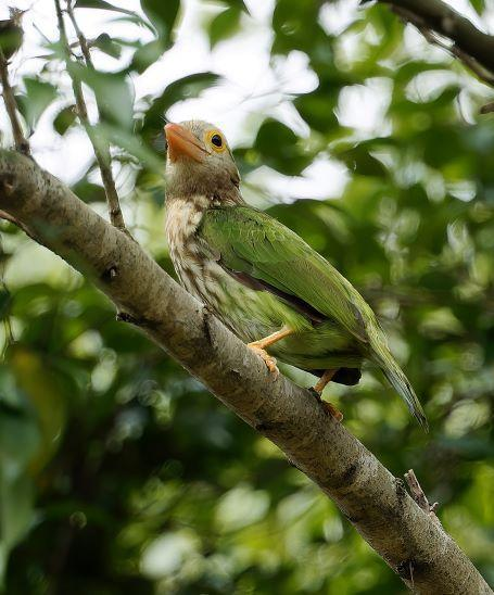 Lineated Barbet Photo by Kenneth Cheong