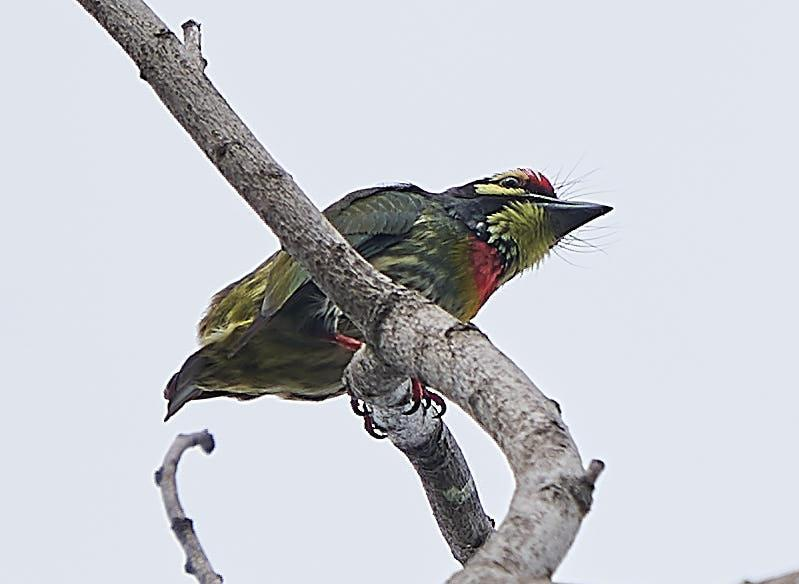 Coppersmith Barbet Photo by Steven Cheong