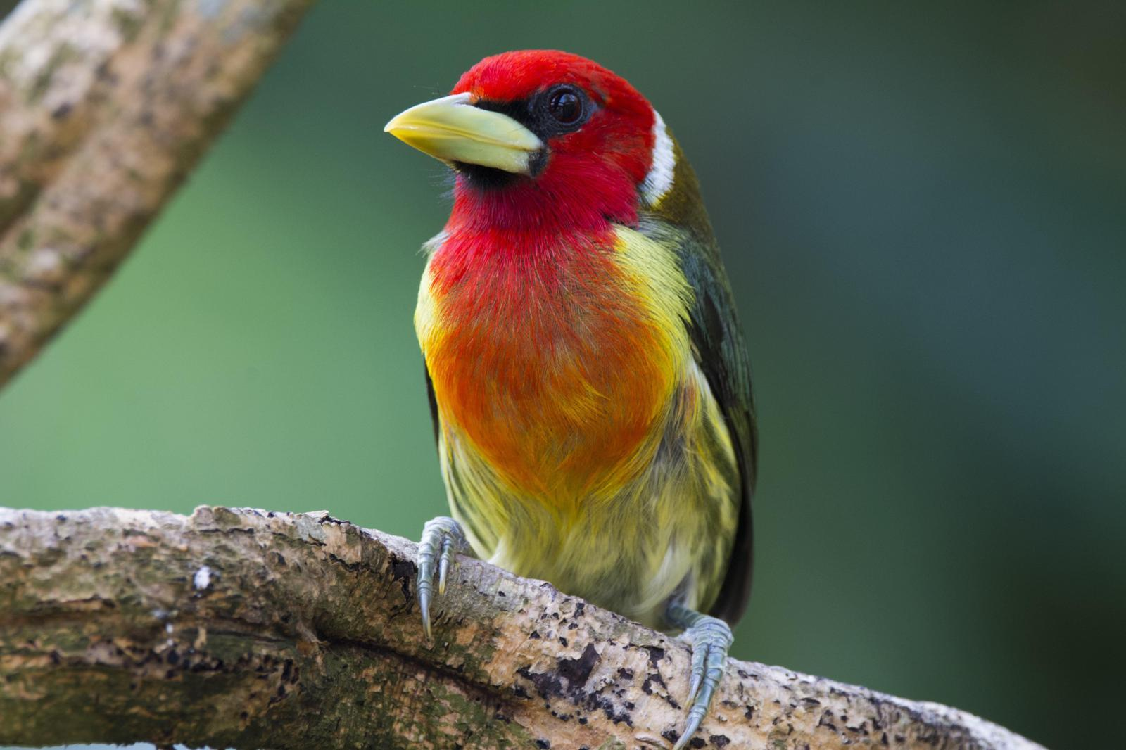 Red-headed Barbet Photo by Jacob Zadik