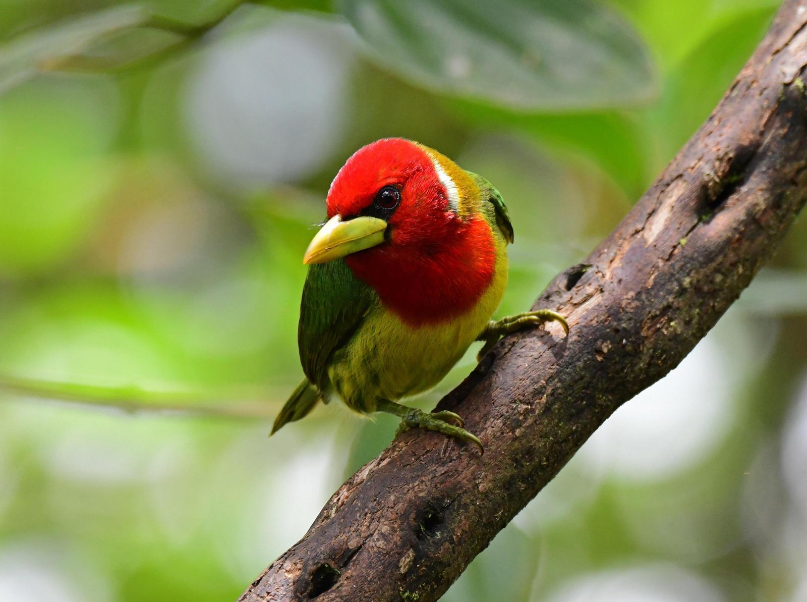 Red-headed Barbet Photo by Jacob Zadik
