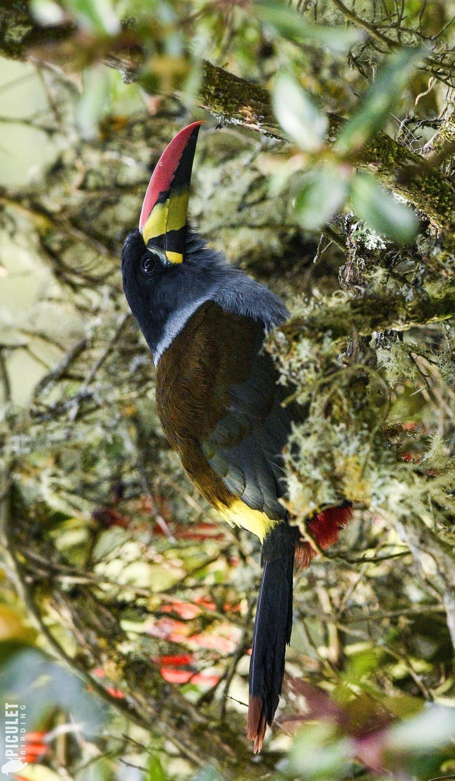 Gray-breasted Mountain-Toucan Photo by Julio Delgado
