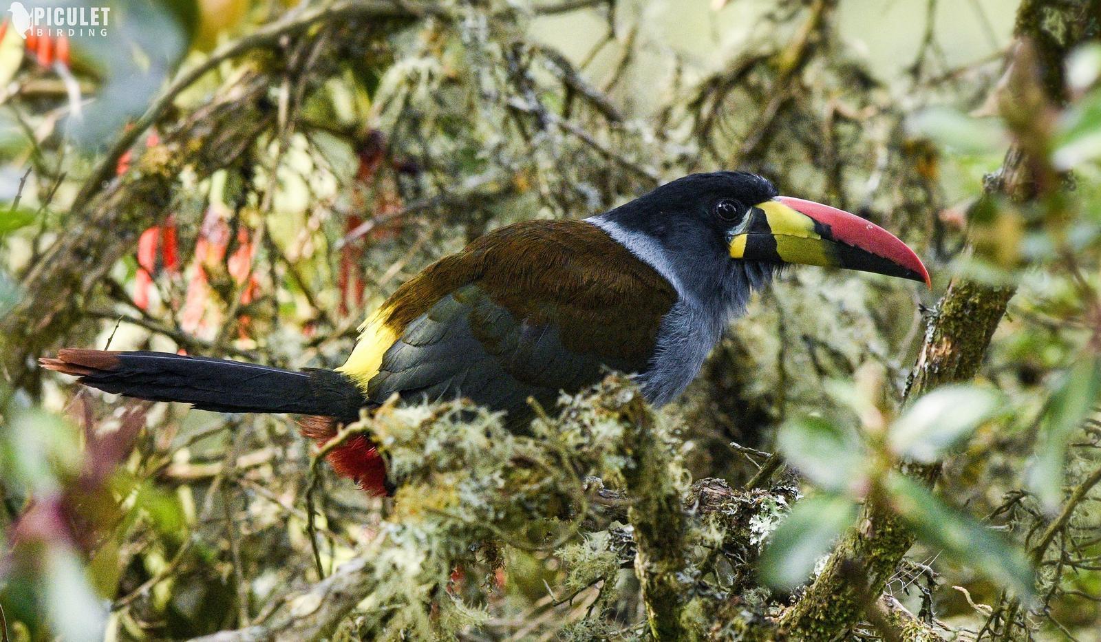 Gray-breasted Mountain-Toucan Photo by Julio Delgado