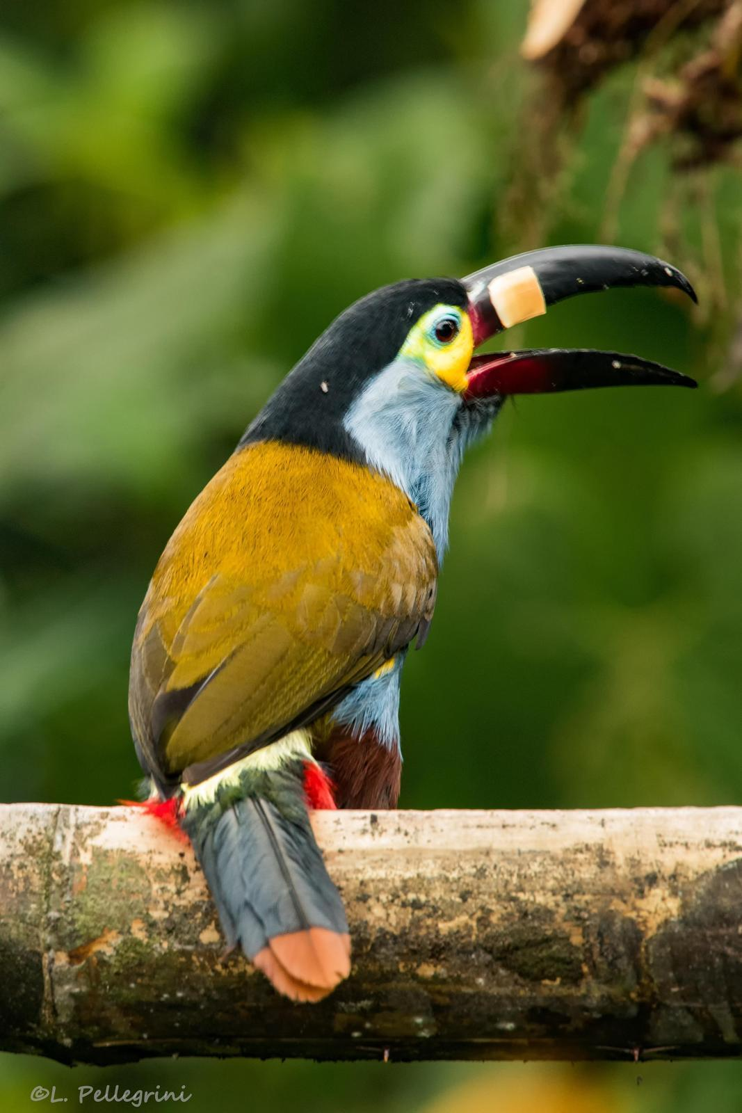 Plate-billed Mountain-Toucan Photo by Laurence Pellegrini