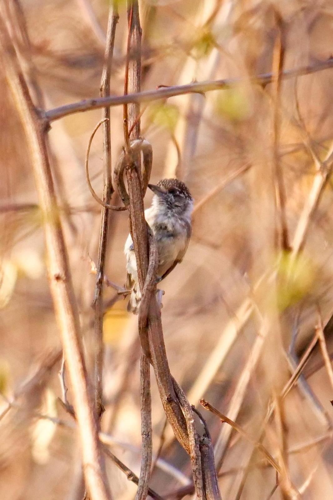 Ochraceous Piculet Photo by Roger Horn