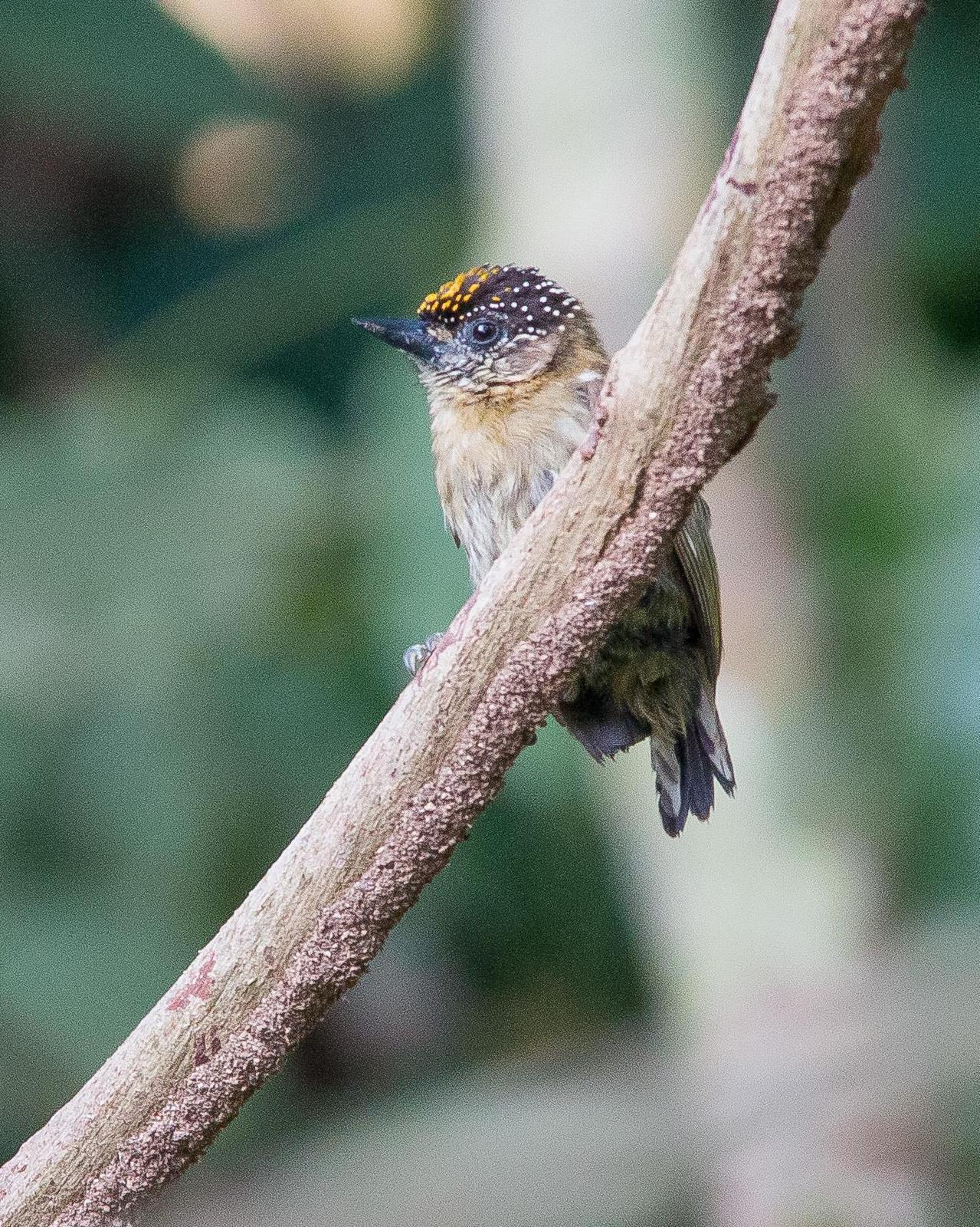 Olivaceous Piculet Photo by Marie-France Rivard
