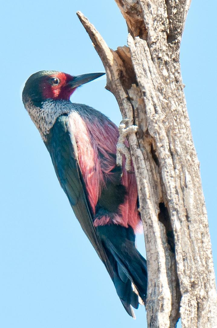 Lewis's Woodpecker Photo by Mason Rose