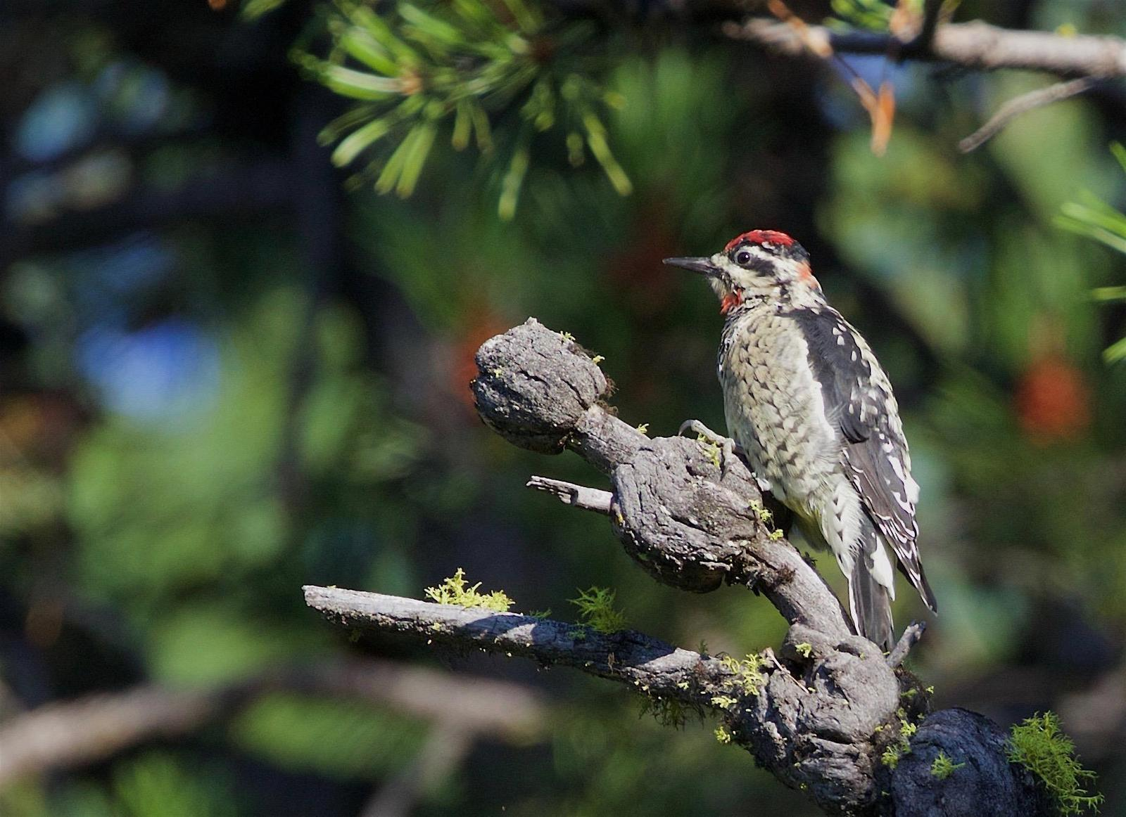 Red-naped Sapsucker Photo by Kathryn Keith