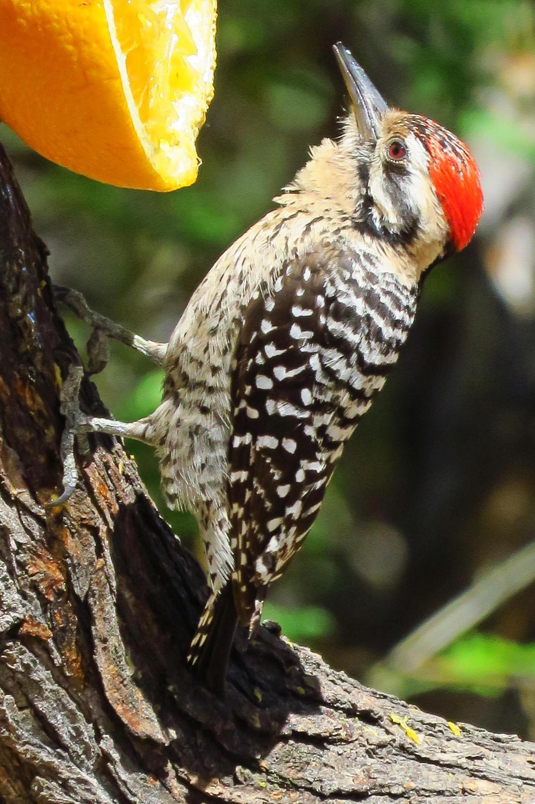 Ladder-backed Woodpecker Photo by Bob Neugebauer