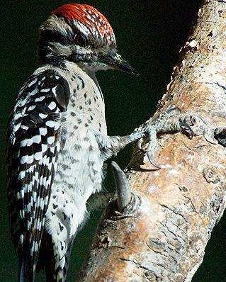 Ladder-backed Woodpecker Photo by Pete Myers