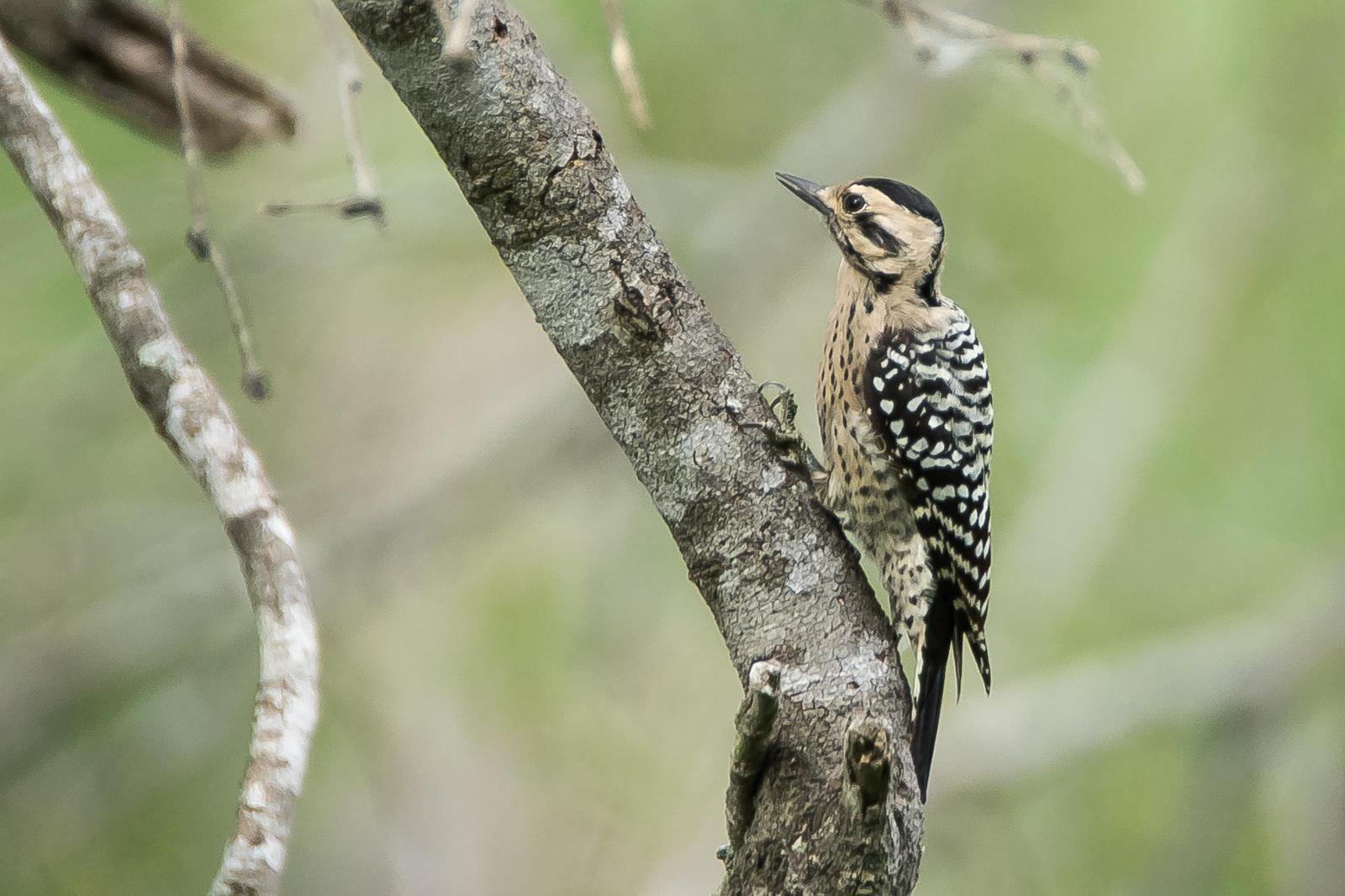 Ladder-backed Woodpecker Photo by Gerald Hoekstra