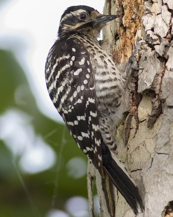 Nuttall's Woodpecker Photo by Anthony Gliozzo