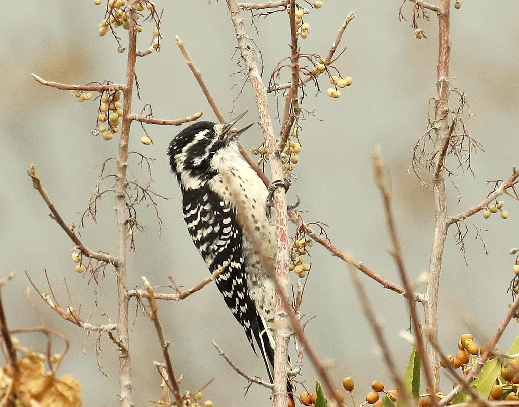 Nuttall's Woodpecker Photo by Vicki Miller