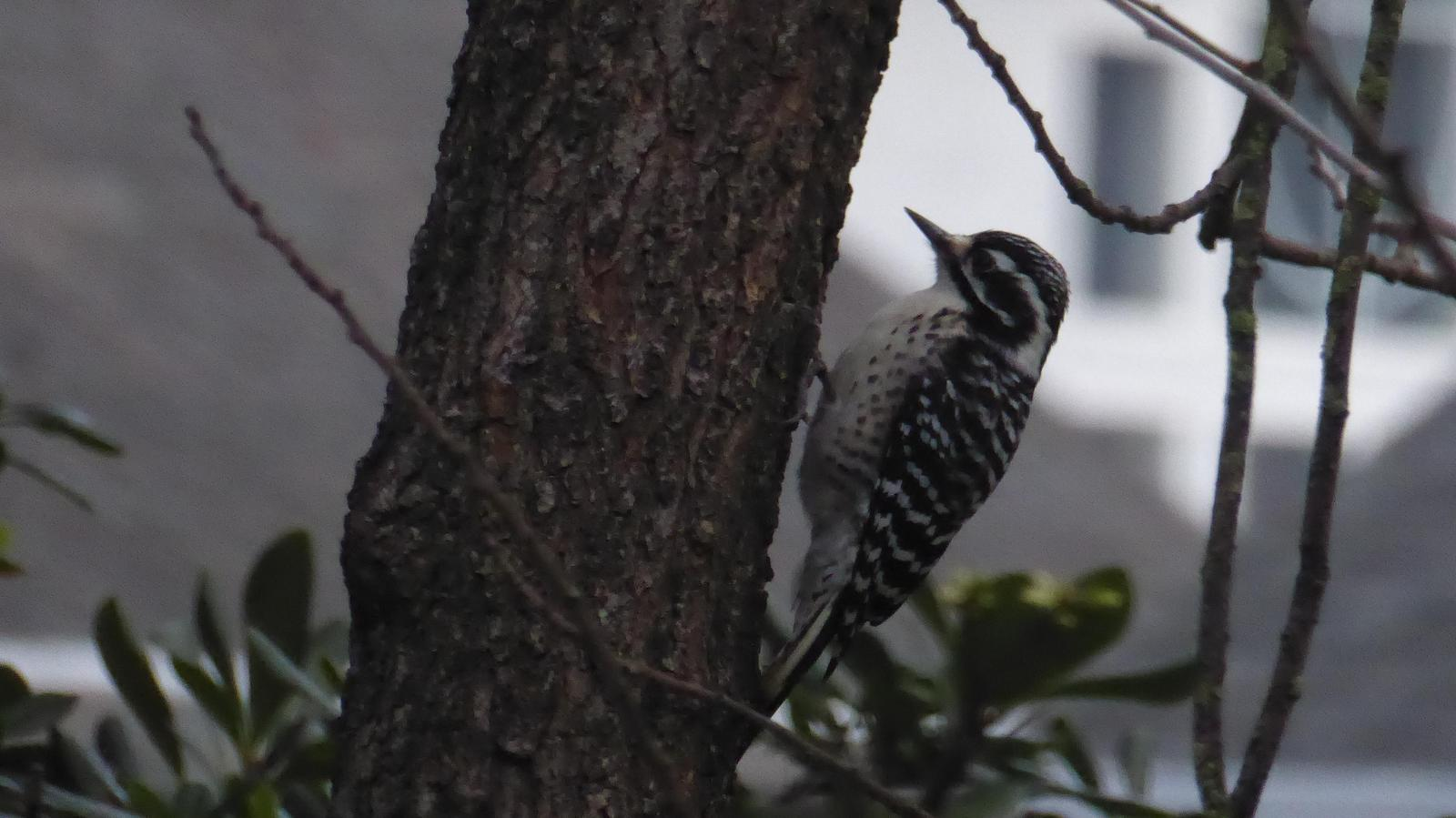 Nuttall's Woodpecker Photo by Daliel Leite