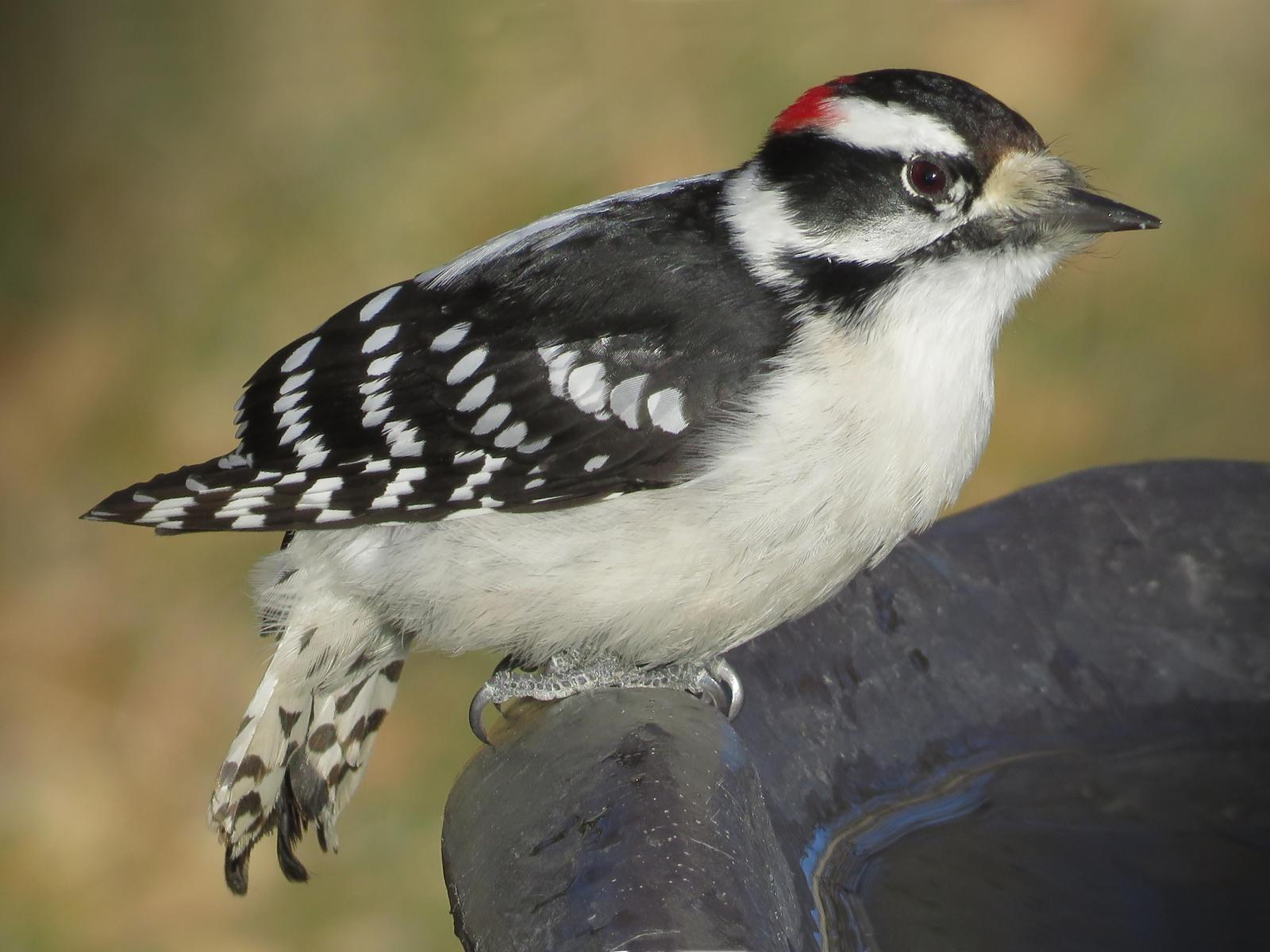 Downy Woodpecker Photo by Bob Neugebauer
