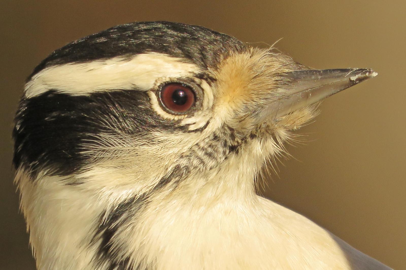Downy Woodpecker Photo by Bob Neugebauer