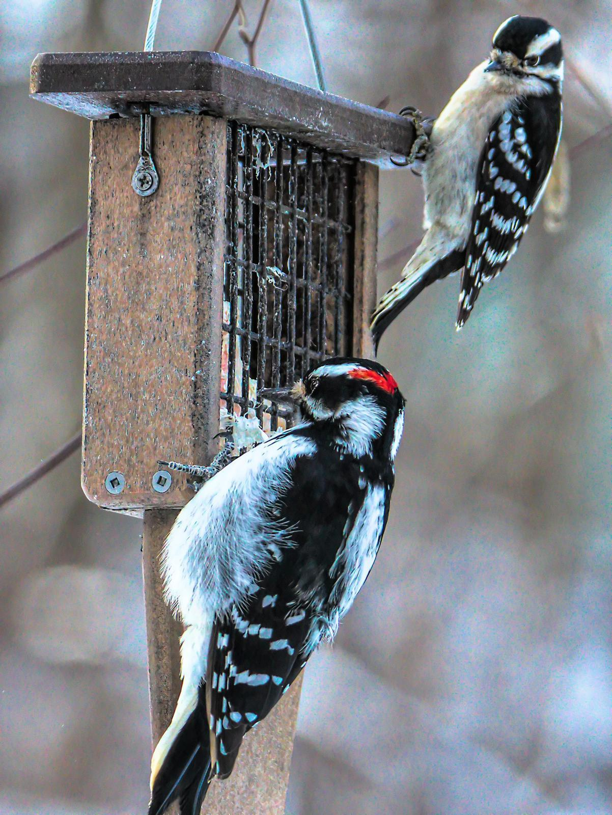 Hairy Woodpecker Photo by Dan Tallman