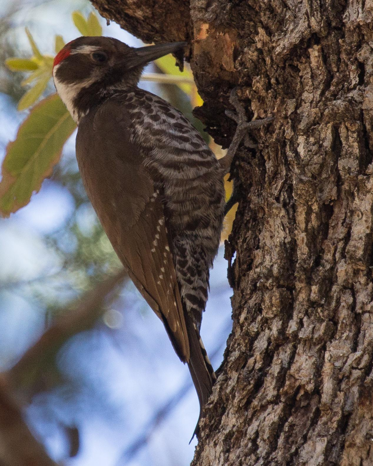 Arizona Woodpecker Photo by Anita Strawn de Ojeda