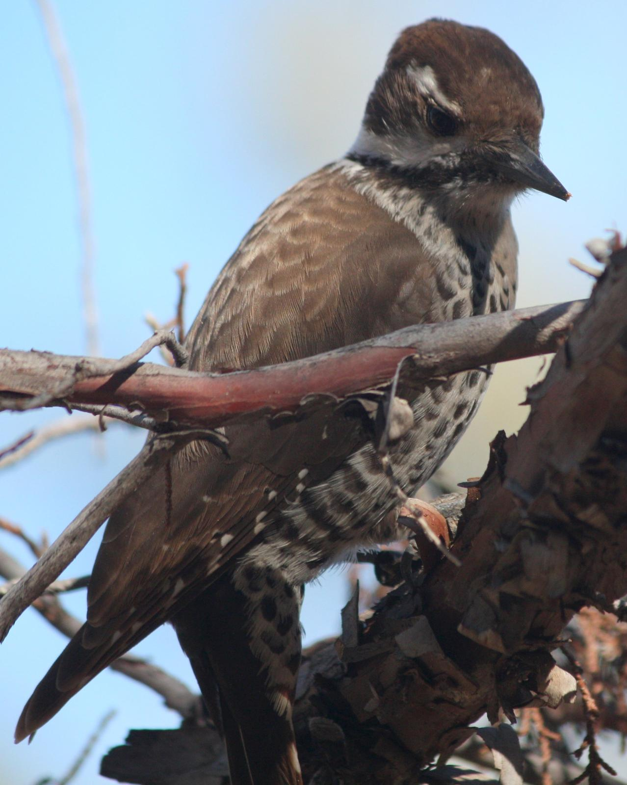 Arizona Woodpecker Photo by Andrew Core
